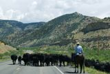 Troupeau de vaches (Wyoming)