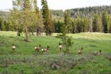 Biches (Yellowstone NP)