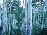 Forêt de bouleaux, Aspen