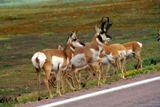 Antelopes au bord de route