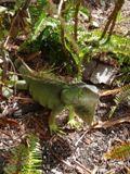 Iguane - Key West