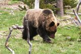 Grizzly (Yellowstone NP)