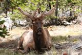 Cerf (Yellowstone NP)