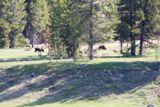 Grizzlys (Grand Teton NP)