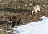 Ours et coyote