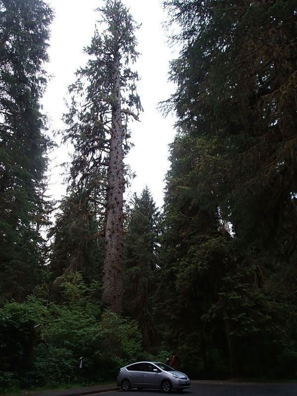 Big Sitka Spruce Tree